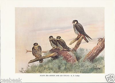 Hobby and It's Young - 1930s Bird Print by G.E. Lodge