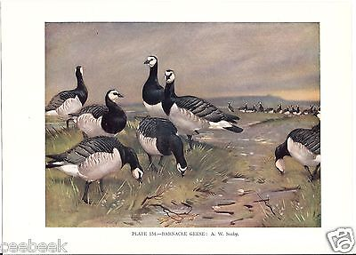 Barnacle Geese - 1930s Bird Print by A.W. Seaby