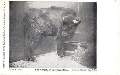 The Wisent or European Bison
