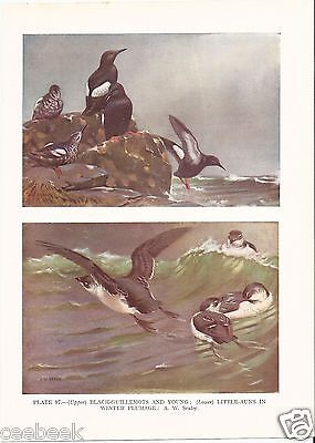 Black-Guillemots With Young & Little-Auks - 1930s Bird Print by A.W. Seaby