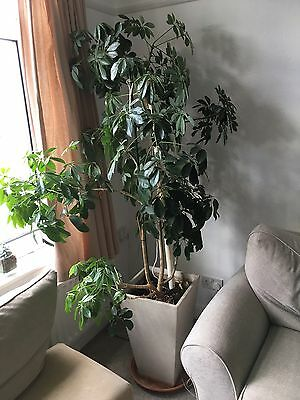 Very Large Indoor Potted Plant