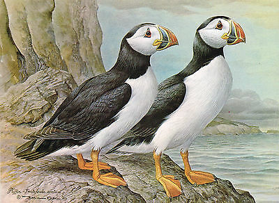 Puffin - 1980 Vintage Bird Print by Basil Ede
