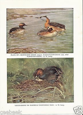 Rednecked, Blacknecked & Slavonian Grebes - 1930s Bird Print by A.W. Seaby