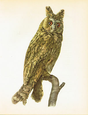 Long-Eared Owl - 1960 Vintage Bird Print by E DeMartini
