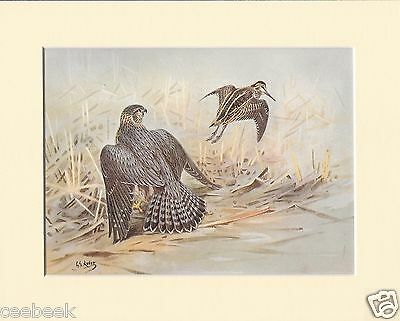 Jack-Snipe Missed By A Merlin Mounted 1930s Bird Print Black Cream or White Moun