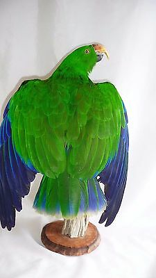 Taxidermy Eclectus parrot (Eclectus roratus) mounted excellent shape