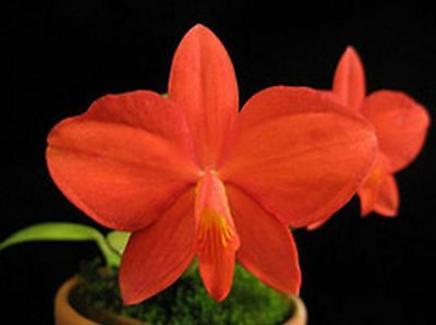 """Orchid Species Sophronitis coccinea """"CF"""" 2N, Flowering Size"""