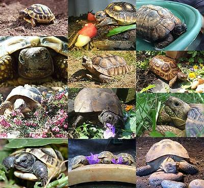 CHARITY : Tortoise Protection Group Calendar 2017 (Opens to A3 size) - Stunning!