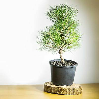 Pre Bonsai Tree Japanese Black Pine #1024