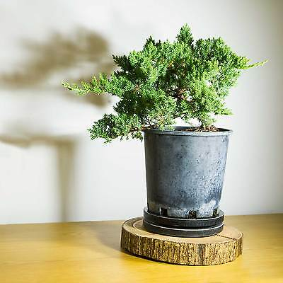 Pre Bonsai Tree Juniper Squamata #1003
