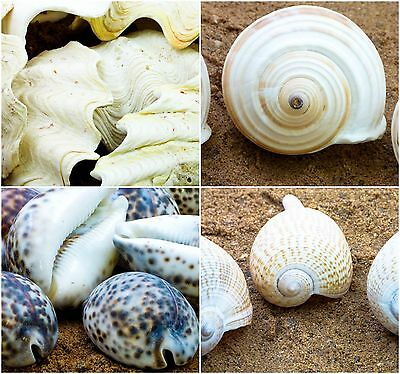Shells Variety available, Conch Fan, tiger spot, Banded Tun, Long Pipa shell