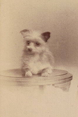 Long Hair Chihuahua Dog Antique Photo Late 1800's -  LARGE New Blank Note Cards