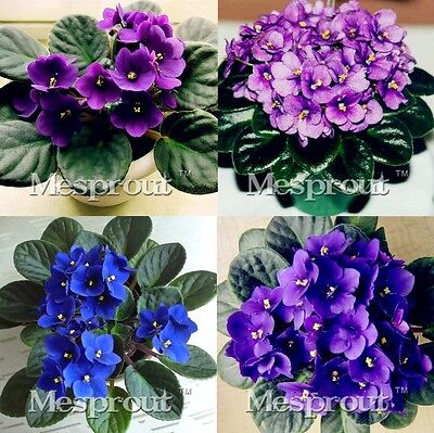 PROMO 100pcs African Violet Seeds,Saintpaulia Ionantha Wendl the budding rate95%