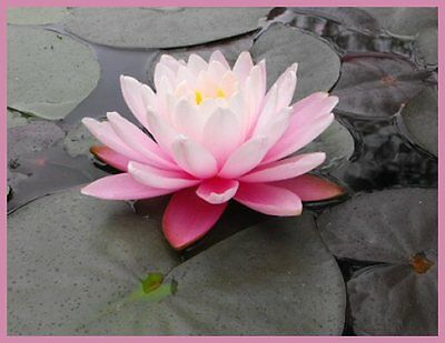 CLEARING SALE * Delicate Pink * Hardy WATER LILY Plant * N.'Pink Heaven'