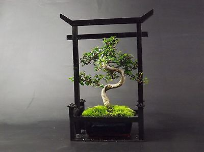 Chinese Elm Bonsai Tree - 20-25cm in Torii Gate style presentation case
