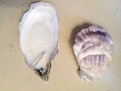 2 Oyster Shell Candles 100% Soy Hand Poured Unscented Shell Tea Light Votives
