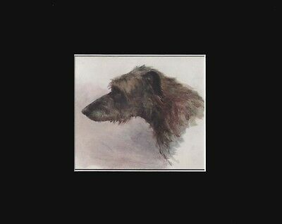 Antique Scottish Deerhound Dog Print by K. Rashleigh (Cira 1912) 8x10 Matted
