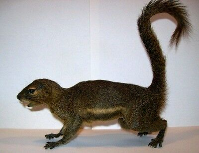 Complete Dried Squirrel Mount NICE!! Taxidermy REAL