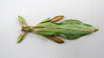 Phyllium siccifolium Male REAL Leaf insect Unmounted