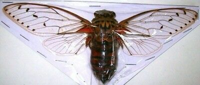 Pomponia intermedia Huge Giant Cicada Taxidermy REAL Insect