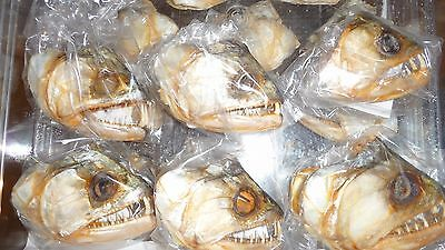 Vampire Fish heads from Peru Large size