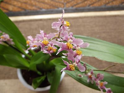 Rare Oncidium ornithorhynchum orchid plant in bloom 2 spike scented