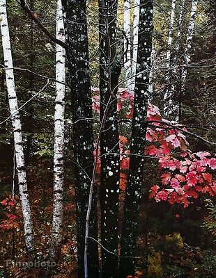 1950's Vintage 16x20 NATURE LANDSCAPE Forest Fall Birch Tree Art By ELIOT PORTER