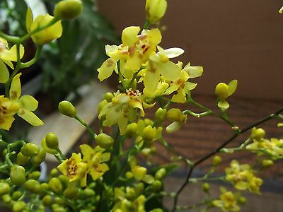 Oncidium orchid plant,yellow, scented with spike 4+