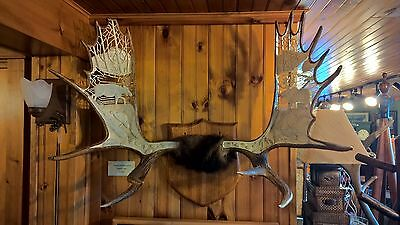 Plaque Mounted Moose Antlers with Hand Carved Native American Moose Scene