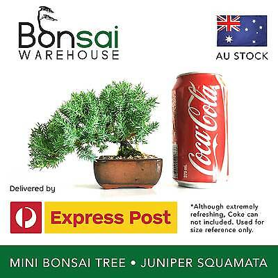 Bonsai Tree – Juniper Squamata – Mini Bonsai Starter