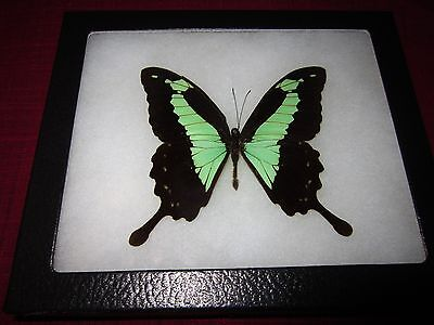 """real papilio phorcas butterfly from africa mounted  framed 5 x 7"""" riker  #8a3"""