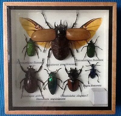 7 Insect Display 5 Horn Stag Beetle Cicada Taxidermy Insect Big Bug Entomology