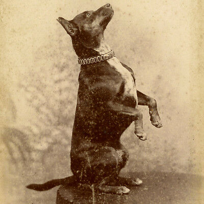 1880s TERRIER DOG DOING BEGGING TRICK CABINET CARD PHOTO BAYSWATER LONDON CIRCUS