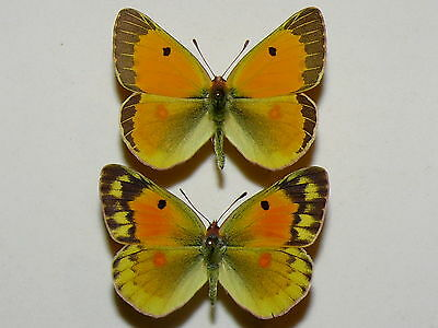 Colias chrysotheme -  Lesser Clouded Yellow - pair
