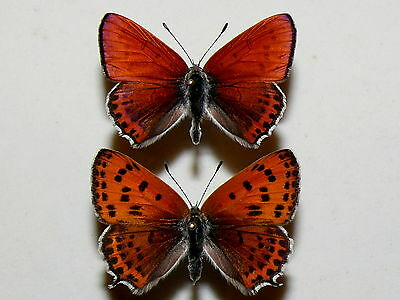 Lycaena thersamon - Lesser fiery copper - pair