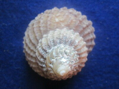 Astraea (Cookia) sulcata 52 mm nice specimen fully clean, great price
