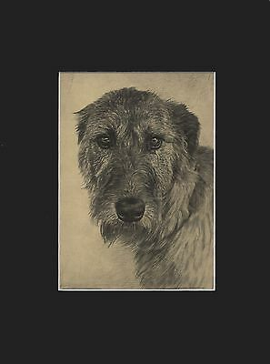 Irish Wolfhound Dog Drawing Print 1935 9X12 by Malcolm Nicholson Beautiful Eyes