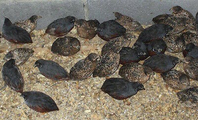 15 RARE COLOR VARIETY Button Quail eggs! FOR HATCHING