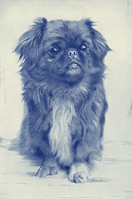 Pekingese Dog 19355 Drawing by Malcum Nicholson - LARGE New Blank Note Cards