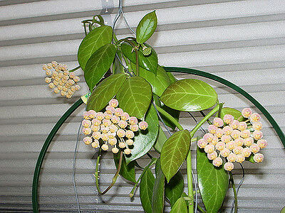 Hoya Obscura Well Rooted Cutting/ House Plant