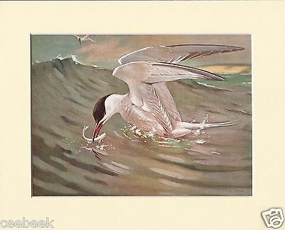 Common-Tern Rising With Fish Mounted 1930s Bird Print Black Cream or White Mount