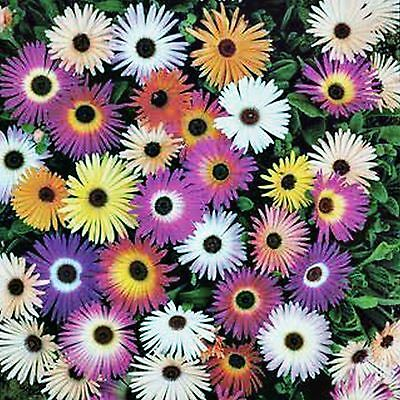 Arctotis Seed Harlequin Mix Mixed Colours Hardy Flowering Bulk 120 Seeds