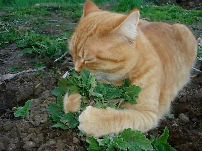2 Piece Happy Cat Pack Catnip And Catgrass Digestion Health Hardy 2100 Seeds