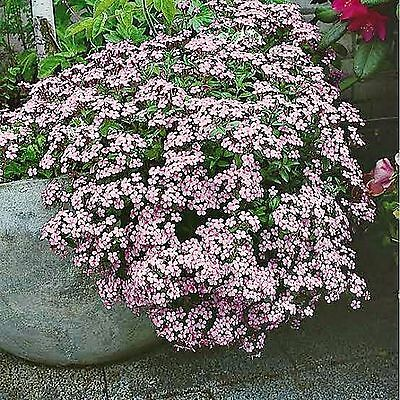 Rock Soapwort Seeds Saponaria Ocymoides Flowering Plant 200 Seed Pack