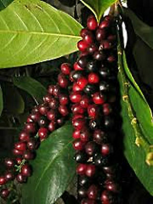 Herbert River Cherry Seeds Antidesma Bunius Antioxidant Fruit Juice 10 Seed Pack