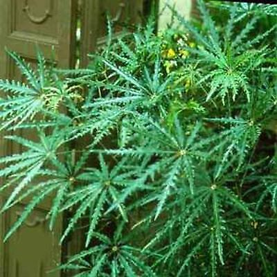 False Aralia Seeds Aralia Elegantissima Shrub Tree Flowering Pot 20 Seed Pack