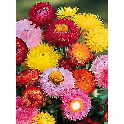 Everlasting Daisy Strawflower Seeds Helichrysum 800 Seed Pack Colour Mixture