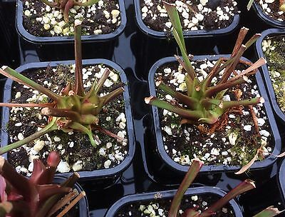 Sarracenia Adult Plants Offer WIll end soon as plants are waking