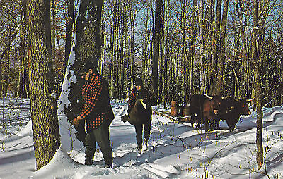 Drilling Holes in Maple Trees for Spouts & Sap Buckets VERMONT USA Postcard