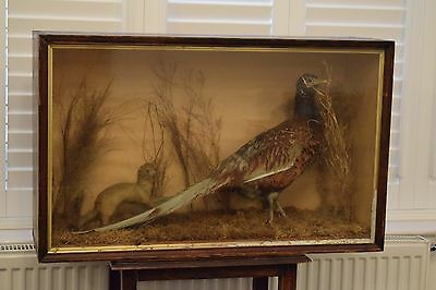 Vintage Cased Taxidermy Display of a Common Cock Pheasant & Stoat